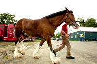 Horses- Clydesdales